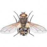 blow_fly